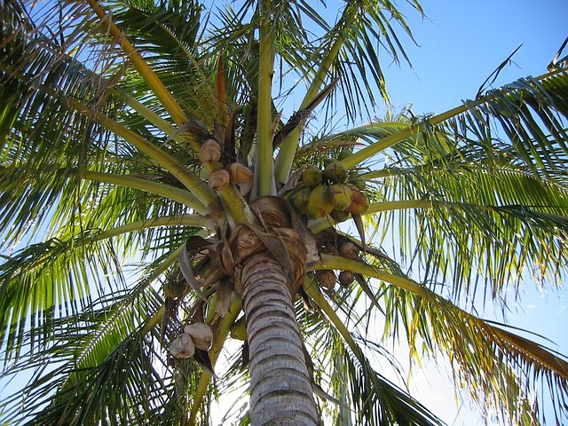 Come aprire una noce di cocco infoperte for Pianta di cocco