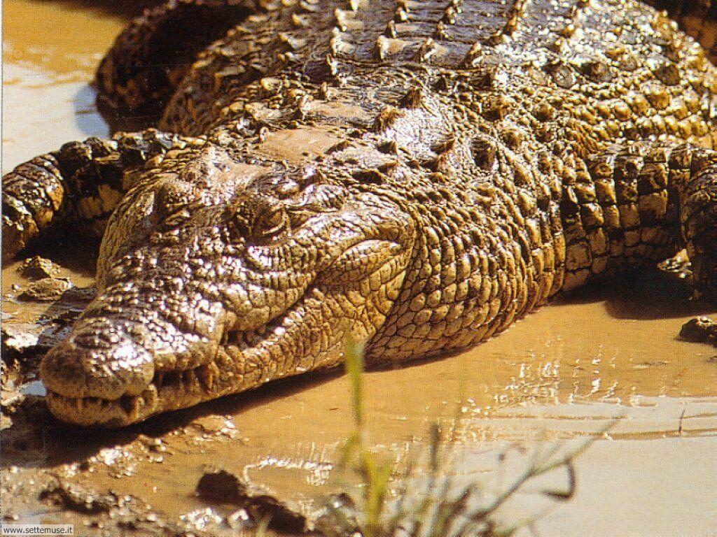 Quali sono le differenze tra alligatori e coccodrilli for Quali sono i rettili