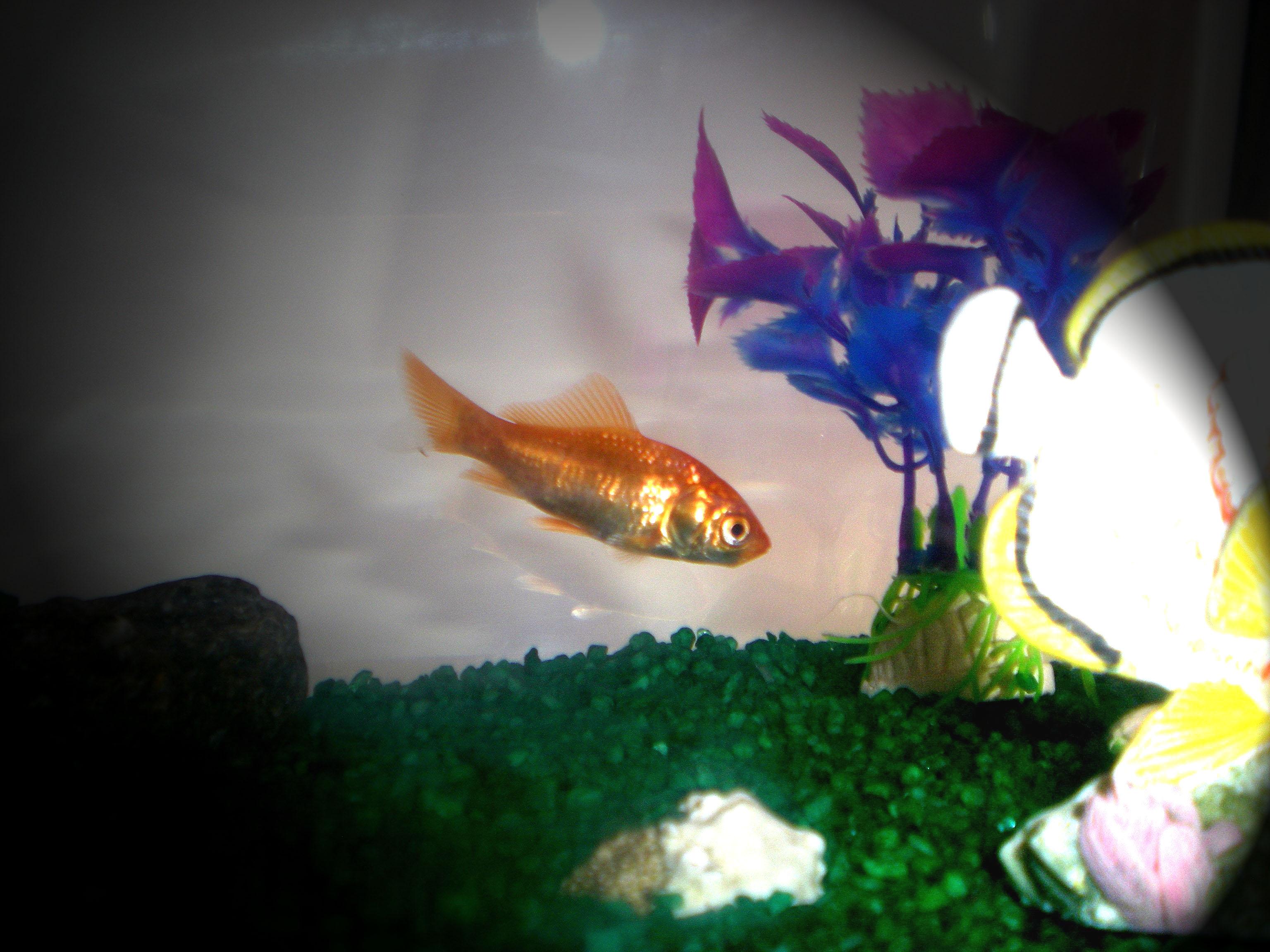 Come prendersi cura dei pesci rossi infoperte for Dove comprare pesci rossi