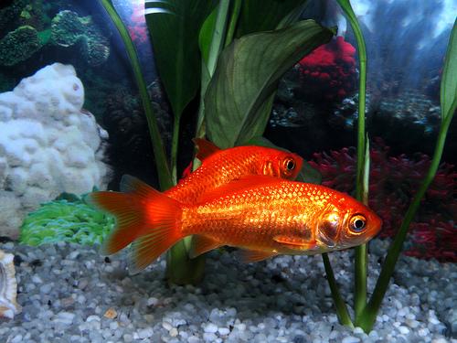 Come prendersi cura dei pesci rossi infoperte for Pesci per acquario piccolo