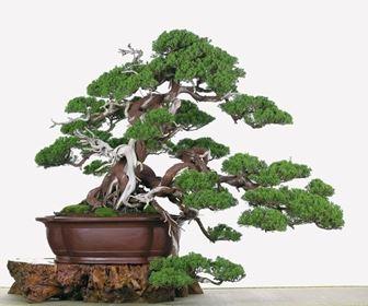 Come crescere e prendersi cura del proprio bonsai infoperte - Cura dei bonsai in casa ...