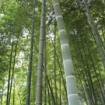 bambù gigante Moso