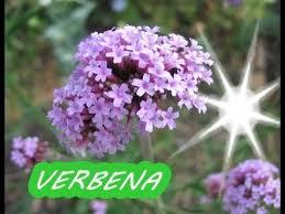 verbena 1