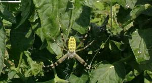 Ragnatela e Argiope su pianta di pomodoro