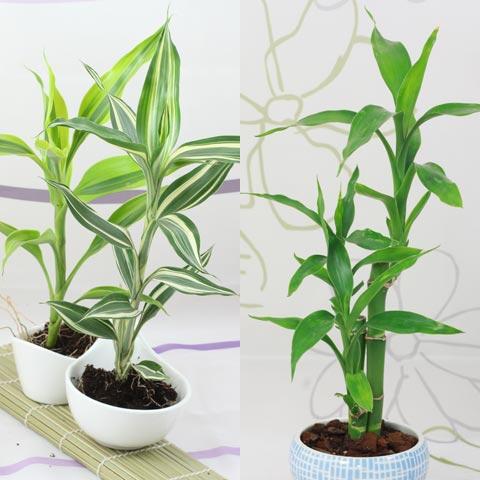 Come riportare le piante in casa Sansevieria concinna
