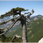 pino loricato